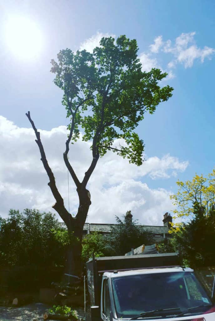 Oak tree felling