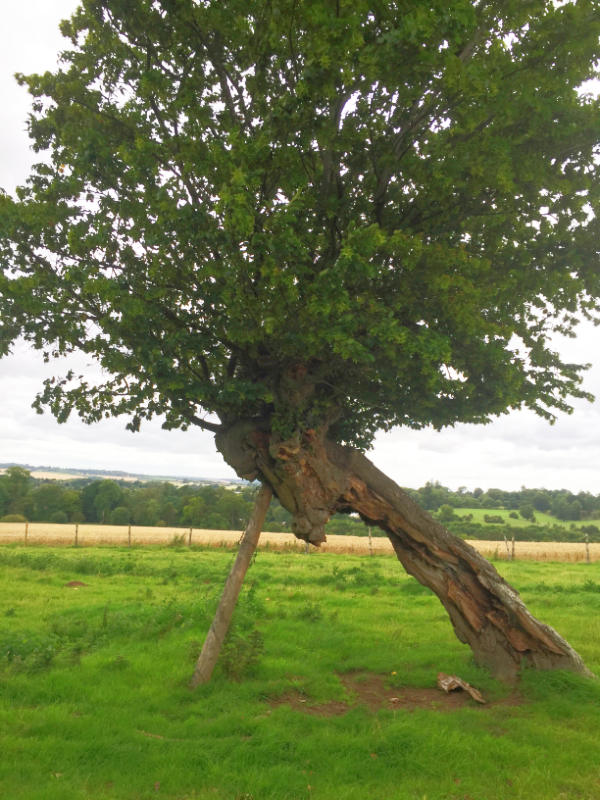 Old oak tree with support