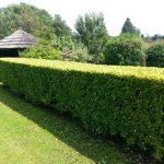 Beautiful neat hedge
