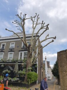 Tree pollarding in London