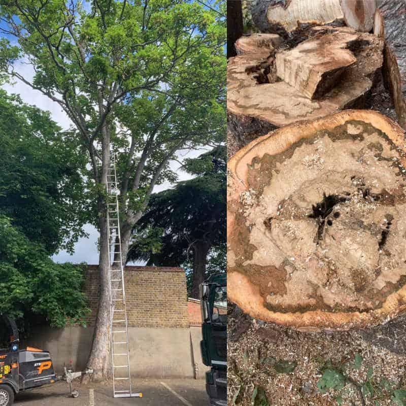 Felling a dangerous tree
