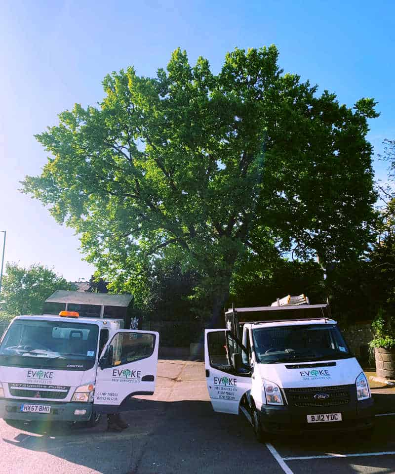 Removal of large oak tree in London